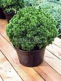 Хвойные саженцы Ель сизая (канадская) Алберта Глоуб (Альберта Глоб) (Picea glauca 'Alberta Globe')