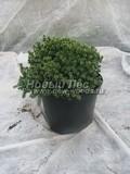 Хвойные саженцы Ель сизая (канадская) Эхиниформис (Picea glauca 'Echiniformis')