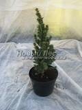 Хвойные саженцы Ель сизая (канадская) Сандерс Блю (Picea glauca 'Sander's Blue')