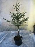 Хвойные саженцы Ель черная (Picea mariana)