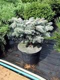 Хвойные саженцы Ель колючая Биалобок (Белобок) (Picea pungens 'Bialobok')
