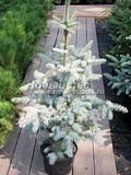 Хвойные саженцы Ель колючая Эдит (Picea pungens 'Edith')