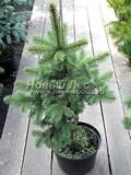 Хвойные саженцы Ель колючая Лаки Страйк (Picea pungens 'Lucky Strike')