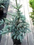 Хвойные саженцы Ель колючая Ольденбург (Picea pungens 'Oldenburg')