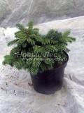 Хвойные саженцы Ель колючая Вальдбрун (Picea pungens 'Waldbrunn')