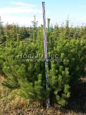 Саженцы Сосны горной (посадочный материал Pinus mugo) - Фото 506 - Взрослые грунтовые деревья и кустарники сосны горной - посадочный материал высотой 140 - 150 см