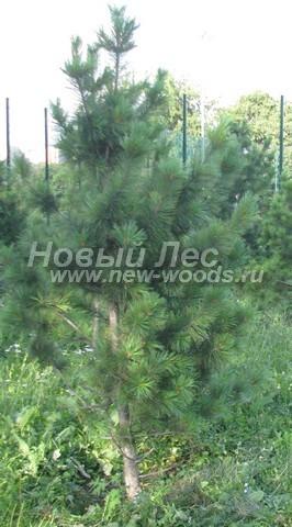 Саженцы Сибирского кедра (посадочный материал Pinus sibirica - Сосна сибирская кедровая) - Фото 507 - Сибирский кедр, высаженный в рамках парково-городского озеленения (Москва, высота дерева 2 метра)