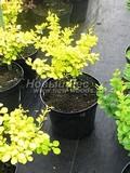 Лиственные саженцы Барбарис Тунберга Аурея (Ауреа) (Berberis thunbergii 'Aurea')