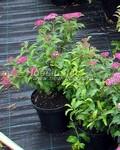 Лиственные саженцы Спирея японская Энтони Ватерер (Антони Ватерер) (Spiraea japonica 'Anthony Waterer')