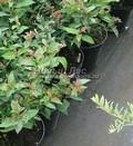 Лиственные саженцы Спирея японская Фробели (Spiraea japonica 'Froebelii')