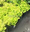 Лиственные саженцы Спирея японская Голден Принцесс (Spiraea japonica 'Golden Princess')