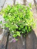 Лиственные саженцы Спирея японская Голдмаунд (Spiraea japonica 'Goldmound')