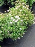 Лиственные саженцы Спирея японская Литл Принцесс (Spiraea japonica 'Little Princess')