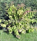 Лиственные саженцы Спирея японская Макрофилла (Spiraea japonica 'Maсrophylla')
