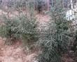 Ель обыкновенная в питомнике зимой: Тульская область
