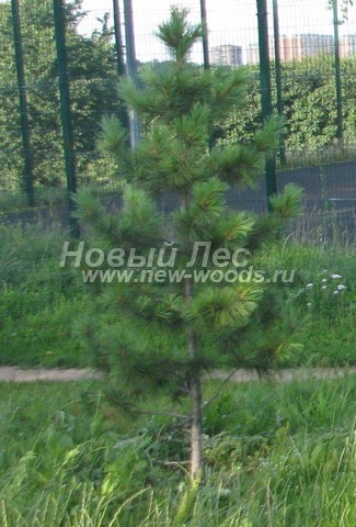 Посадка Сибирского кедра в ландшафте (Pinus sibirica, Сосна сибирская кедровая) - Фото 703 - Посадка Сосны сибирской кедровой возле спортивной площадки в городском парке (Москва)