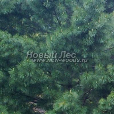 Цвет Сосны сибирской кедровой (окраска Pinus sibirica - Кедра сибирского) - Фото 801 - Весенний цвет кроны Сибирского кедра (хвоя с побегами, весна, май, Подмосковье)