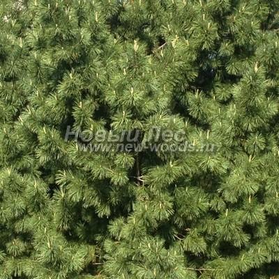 Цвет Сосны сибирской кедровой (окраска Pinus sibirica - Кедра сибирского) - Фото 803 - Сибирский кедр: хвойное дерево, освещённое солнцем, окрашивается в более тёплые тона (май)
