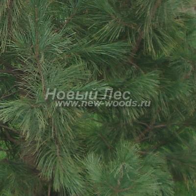 Цвет Сосны сибирской кедровой (окраска Pinus sibirica - Кедра сибирского) - Фото 804 - Окраска хвои Сибирской сосны становится более тёмной к осени (октябрь)