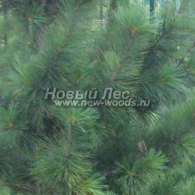 Цвет Сосны сибирской кедровой (окраска Pinus sibirica - Кедра сибирского) - Фото 805 - Июльский цвет кроны Сибирского кедра (лето, облачная погода)