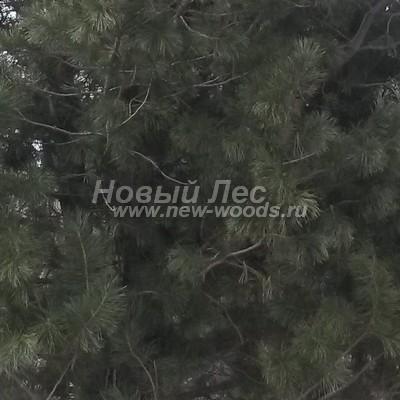 Цвет Сосны сибирской кедровой (окраска Pinus sibirica - Кедра сибирского) - Фото 806 - С возрастом хвоя зрелого дерева приобретает более тёмные оттенки (иногда часть ветвей оголяется теряя хвою, весна, март)