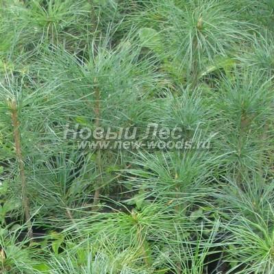 Цвет Сосны сибирской кедровой (окраска Pinus sibirica - Кедра сибирского) - Фото 807 - Молодые саженцы растений Сибирский кедр имеют обычно самую светлую окраску