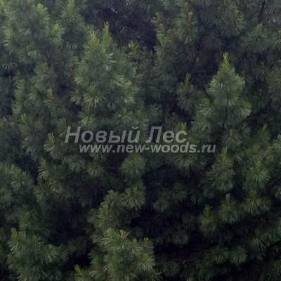 Цвет Сосны сибирской кедровой (окраска Pinus sibirica - Кедра сибирского) - Фото 808 - Окраска кроны взрослого дерева Сосны сибирской кедровой (лето, июнь, Московская область) - более тёмная