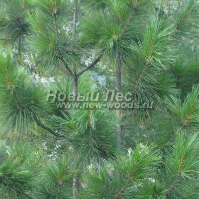 Цвет Сосны сибирской кедровой (окраска Pinus sibirica - Кедра сибирского) - Фото 809 - Окраска кроны молодого дерева Сосны сибирской кедровой (лето, июль, Москва) - более светлая