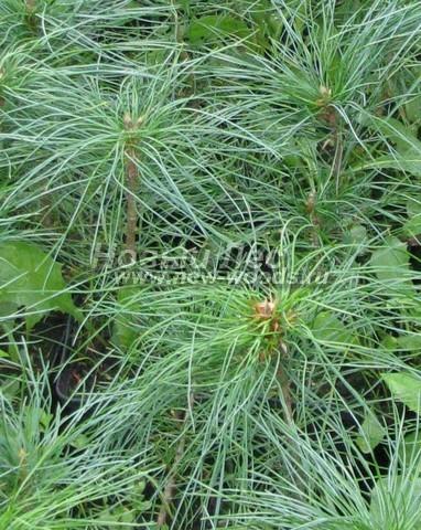 Фото Сосны сибирской кедровой (Кедра сибирского) (Pinus sibirica) - ветви, хвоя, шишки - Фото 901 - Саженцы Сосны сибирской кедровой (Сибирского кедра)