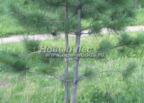 Фото Сосны сибирской кедровой (Кедра сибирского) (Pinus sibirica) - ветви, хвоя, шишки - Фото 902 - Ствол, ветви, хвоя молодого дерева Сибирский кедр (Pinus sibirica)