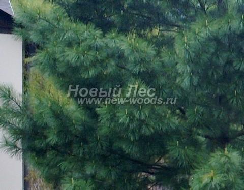 Фото Сосны сибирской кедровой (Кедра сибирского) (Pinus sibirica) - ветви, хвоя, шишки - Фото 905 - Большое количество иголок в пучке Сибирского кедра (5 по сравнению с 2 у Сосны обыкновенной) создает эффект пушистой кроны
