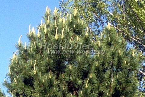 Фото Сосны сибирской кедровой (Кедра сибирского) (Pinus sibirica) - ветви, хвоя, шишки - Фото 906 - Цветение сосны сибирской кедровой (весна, май, Московская область)