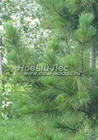 Фото Сосны сибирской кедровой (Кедра сибирского) (Pinus sibirica) - ветви, хвоя, шишки - Фото 910 - Сибирский кедр: ветви и хвоя летом в июле
