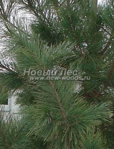 Фото Сосны сибирской кедровой (Кедра сибирского) (Pinus sibirica) - ветви, хвоя, шишки - Фото 911 - Хвоя сосны сибирской кедровой осенью (октябрь, Подмосковье)