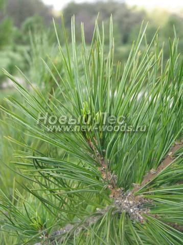 Фото Сосны сибирской кедровой (Кедра сибирского) (Pinus sibirica) - ветви, хвоя, шишки - Фото 912 - Иголки Сибирского кедра крупным планом (октябрь, осень, макросъёмка)
