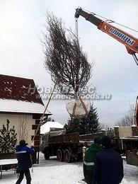 Посадка лиственных крупномеров для озеленения зимой