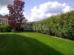 Живые изгороди, газоны, крупномерные деревья - озеленение участков под ключ
