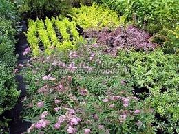 Саженцы лиственных растений из питомника для озеленения территорий