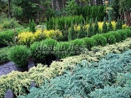 Саженцы хвойных растений из питомника для озеленения территорий