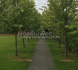 Озеленение территории: посадка аллеи деревьев и зелёной живой изгороди из кустарника вдоль границы участка (завершение работ)
