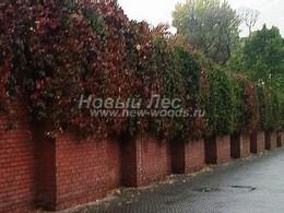 Вертикальное озеленение высокого кирпичного забора в Москве - девичий виноград пятилисточковый