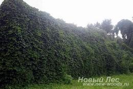 Живые изгороди: живая стена из вьющихся растений - высота 5 метров