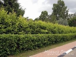 Живые изгороди: двурядная стриженая живая изгородь (двухрядная изгородь)