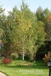 Профессиональная посадка лиственных крупномеров