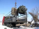 Транспортировка крупномерных деревьев на место посадки