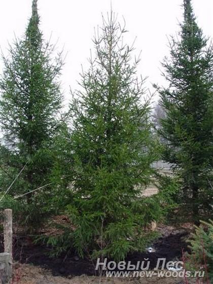 Посадка крупномеров Ель (качественные деревья)