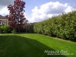 Живые зеленые изгороди
