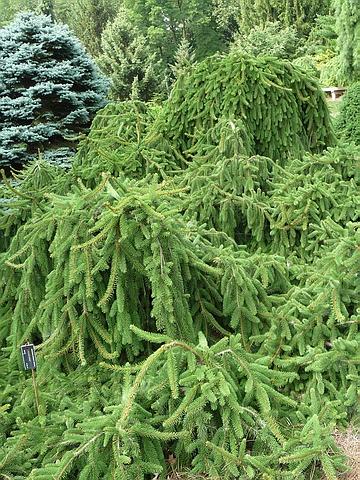 Хвойный крупномер Ель обыкновенная Инверса (Picea abies 'Inversa')