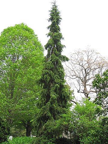 Хвойный крупномер Ель сербская Пендула (Picea omorika 'Pendula')