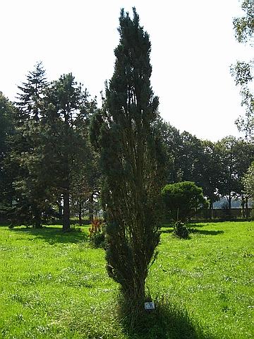 Крупномер Сосна обыкновенная Фастигиата